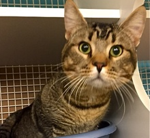 [another picture of Rico Suave, a Abyssinian Mix brown tick tabby\ cat]