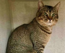 [picture of Rico Suave, a Abyssinian Mix brown tick tabby\ cat]