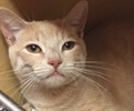 A picture of #ET01639: Cinnamon a Domestic Short Hair orange