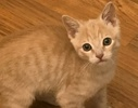 [picture of Cinnamon, a Domestic Short Hair orange cat]