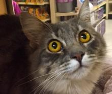 [picture of Bella, a Ragdoll Mix silver/white\ cat]