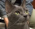 A picture of #ET01641: Asheley a Russian Blue Mix blue
