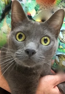 [picture of Asheley, a Russian Blue Mix blue cat]