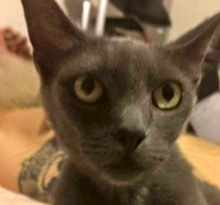 [picture of Asheley, a Russian Blue Mix blue\ cat]