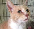 A picture of #ET01642: Freddie a Domestic Short Hair orange