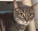 A picture of #ET01643: Huestis a Domestic Short Hair silver tabby