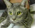 [picture of Huestis, a Domestic Short Hair silver tabby cat]