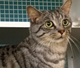 A picture of #ET01644: Garibaldi a Domestic Short Hair silver spot tabby