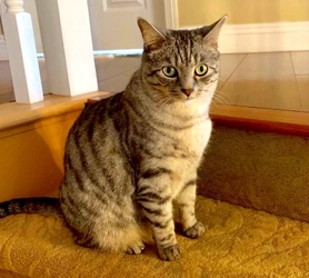 [picture of Garibaldi, a Domestic Short Hair silver spot tabby cat]
