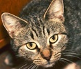 A picture of #ET01646: Sitka a Domestic Short Hair brown tabby