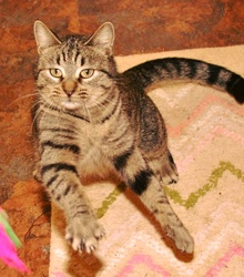 [another picture of Sitka, a Domestic Short Hair brown tabby\ cat]