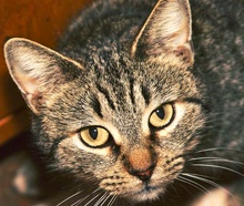 [picture of Sitka, a Domestic Short Hair brown tabby\ cat]
