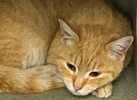 A picture of #ET01648: Aynslee a Domestic Short Hair orange/white