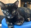 A picture of #ET01649: Calypso a Domestic Short Hair tortie