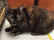 [another picture of Amaretto, a Domestic Short Hair tortie\ cat]
