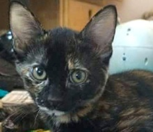 [picture of Amaretto, a Domestic Short Hair tortie\ cat]