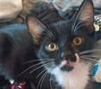A picture of #ET01651: Moonpie a Domestic Short Hair black/white tuxedo