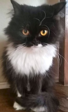 [another picture of Dutchess, a Persian black/white\ cat]