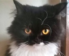 A picture of #ET01652: Dutchess a Persian black/white