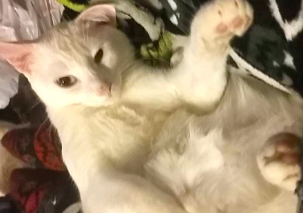 [picture of Mellow, a Domestic Short Hair white\ cat]