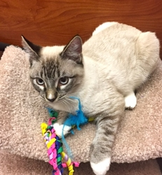 [picture of Rainbo, a Siamese lynx point cat]