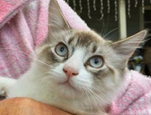 [picture of Snowflake, a Siamese lynx point\ cat]