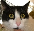 A picture of #ET01661: Cheechee a Domestic Short Hair black/white