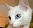 A picture of #ET01662: Baby a Turkish Van Mix bi-eyed white
