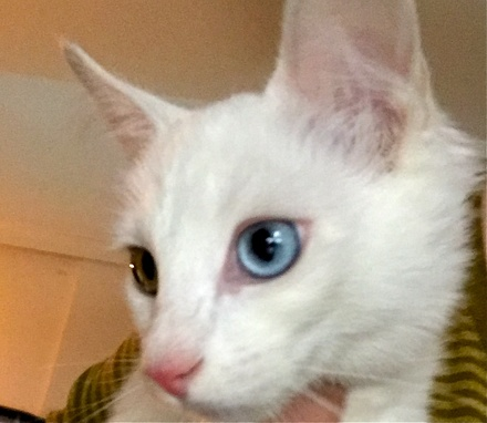 [picture of Baby, a Turkish Van Mix bi-eyed white\ cat]