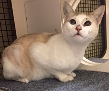 [another picture of Karla, a Siamese Mix snowshoe\ cat]