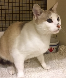 [picture of Karla, a Siamese Mix snowshoe cat]