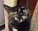 A picture of #ET01664: Hesperia a Domestic Short Hair tortie