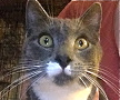 [picture of Hennessy, a Domestic Short Hair blue/white\ cat]