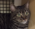 A picture of #ET01667: Phineas a Domestic Short Hair brown tabby
