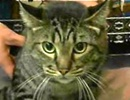 [picture of Phineas, a Domestic Short Hair brown tabby cat]