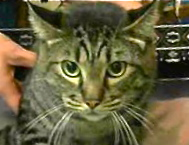 [picture of Phineas, a Domestic Short Hair brown tabby\ cat]