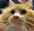 A picture of #ET01670: Flambeau a Maine Coon-x orange/white