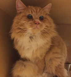 [picture of Flambeau, a Maine Coon-x orange/white cat]
