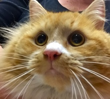 [picture of Flambeau, a Maine Coon-x orange/white\ cat]