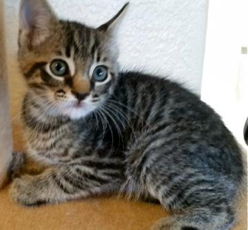 [picture of Ashton, a Domestic Short Hair gray tabby\ cat]