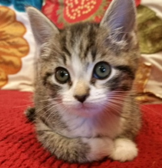 [picture of Allie, a Domestic Short Hair gray tabby/white\ cat]