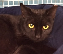 A picture of #ET01674: Midnight a Domestic Short Hair black