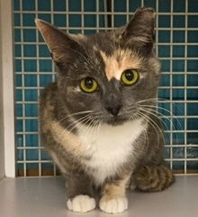 [another picture of Nadine, a Domestic Short Hair dilute calico\ cat]