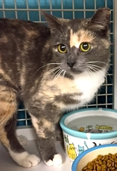 [picture of Nadine, a Domestic Short Hair dilute calico cat]
