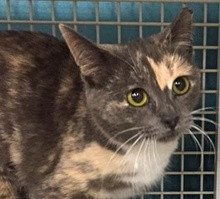 [picture of Nadine, a Domestic Short Hair dilute calico\ cat]