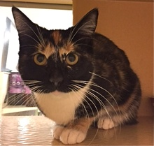 [another picture of Bejita, a Domestic Short Hair calico\ cat]