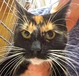 [picture of Bejita, a Domestic Short Hair calico cat]