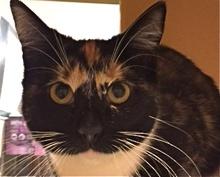[picture of Bejita, a Domestic Short Hair calico\ cat]