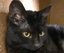 [picture of Shadow, a Domestic Short Hair black\ cat]