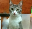 A picture of #ET01679: Arorah a Domestic Medium Hair silver tabby/white
